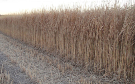 Energy Grasses for use as Anaerobic Digestion Feedstock