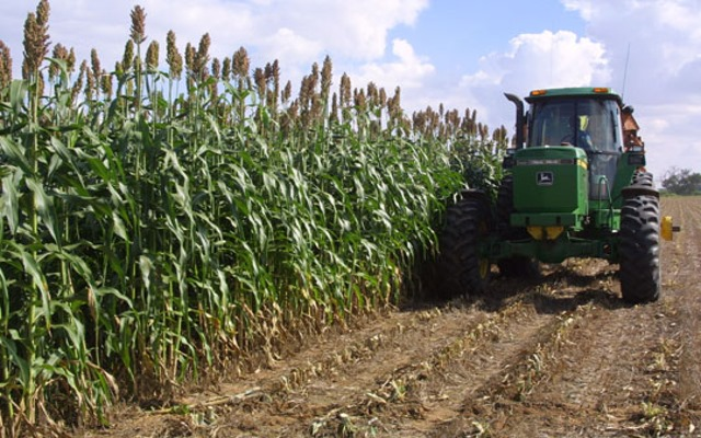 Newly discovered wild sorghum variety has tremendous potential for cellulosic ethanol