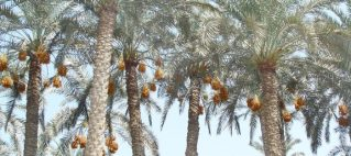 Palm Biomass to Furfural